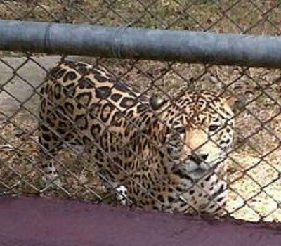 Jaguars to a ZOO in USA